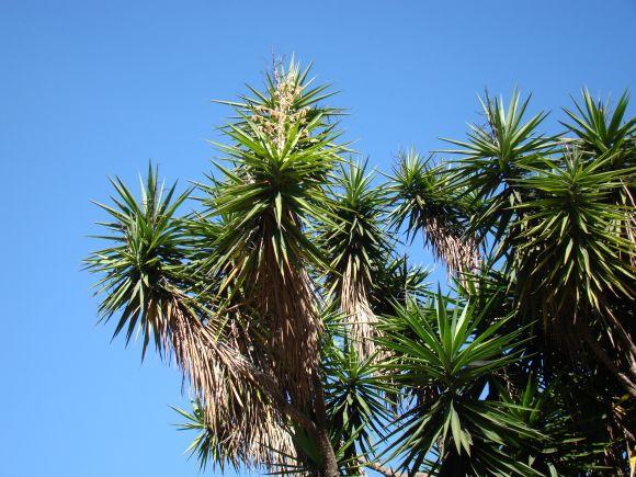 Yucca Palme, 2009 © mauroguanandi on flickr.com