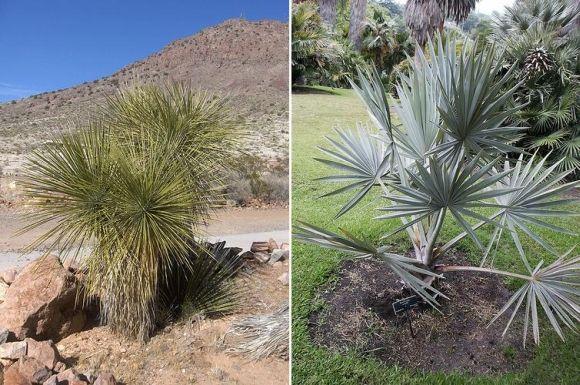 Vergleich zwischen einer Yucca Palme und einer echten Palme, 2010 © Homer Edward Price on flickr.com and 2009 © Pamla J. Eisenberg on flickr.com
