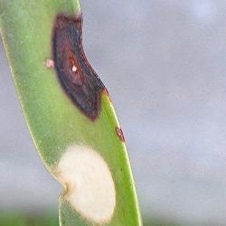 Yucca Blatt mit Pilzbefall